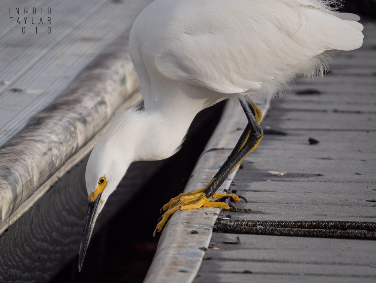 Snowy Egret Fishing on Dock