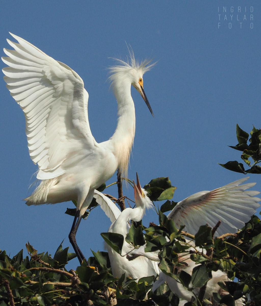 Snowy Egret Parent and Chick