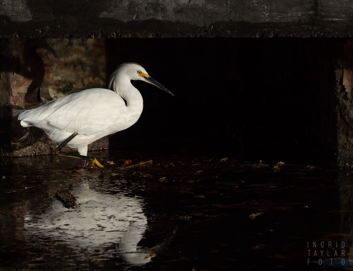 Snowy Egret in Urban Shadows