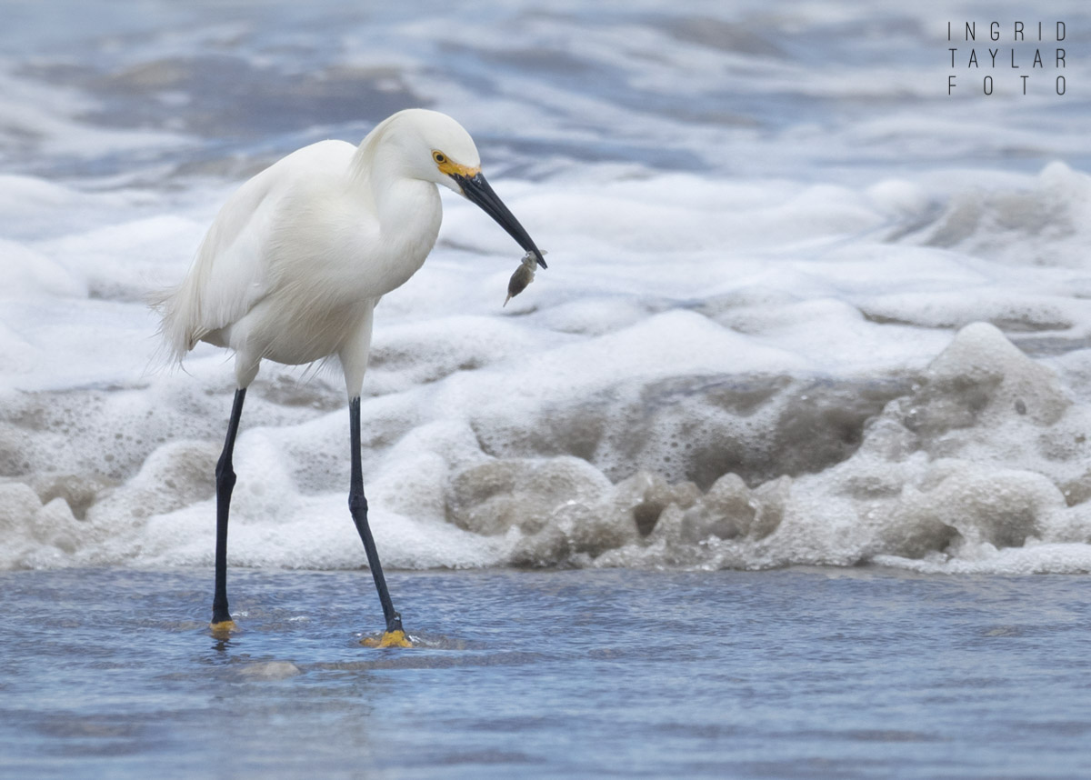 Snowy Egret with Mole Crab