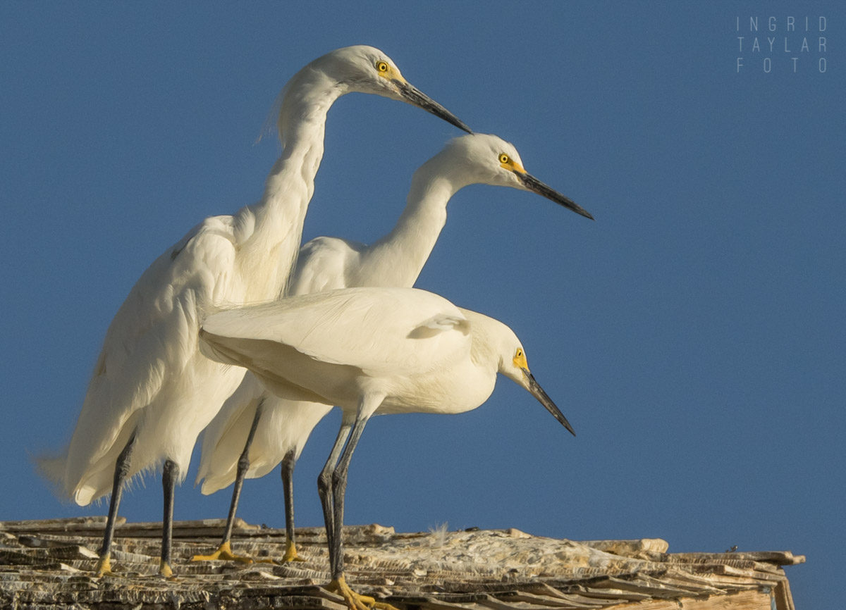Snowy Egrets at Harbor
