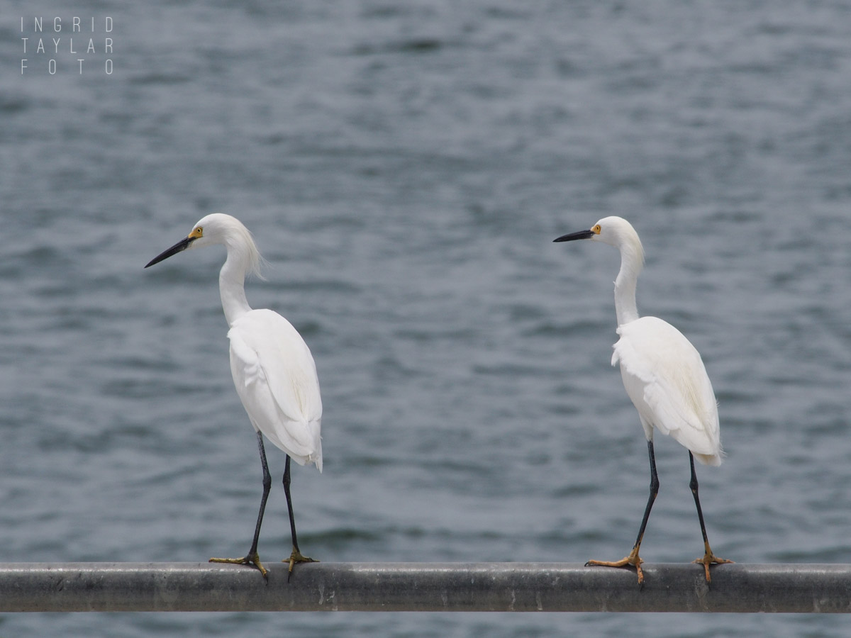 Snowy Egrets at the Harbor