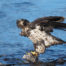 Sub Adult Bald Eagle Eating Salmon 3