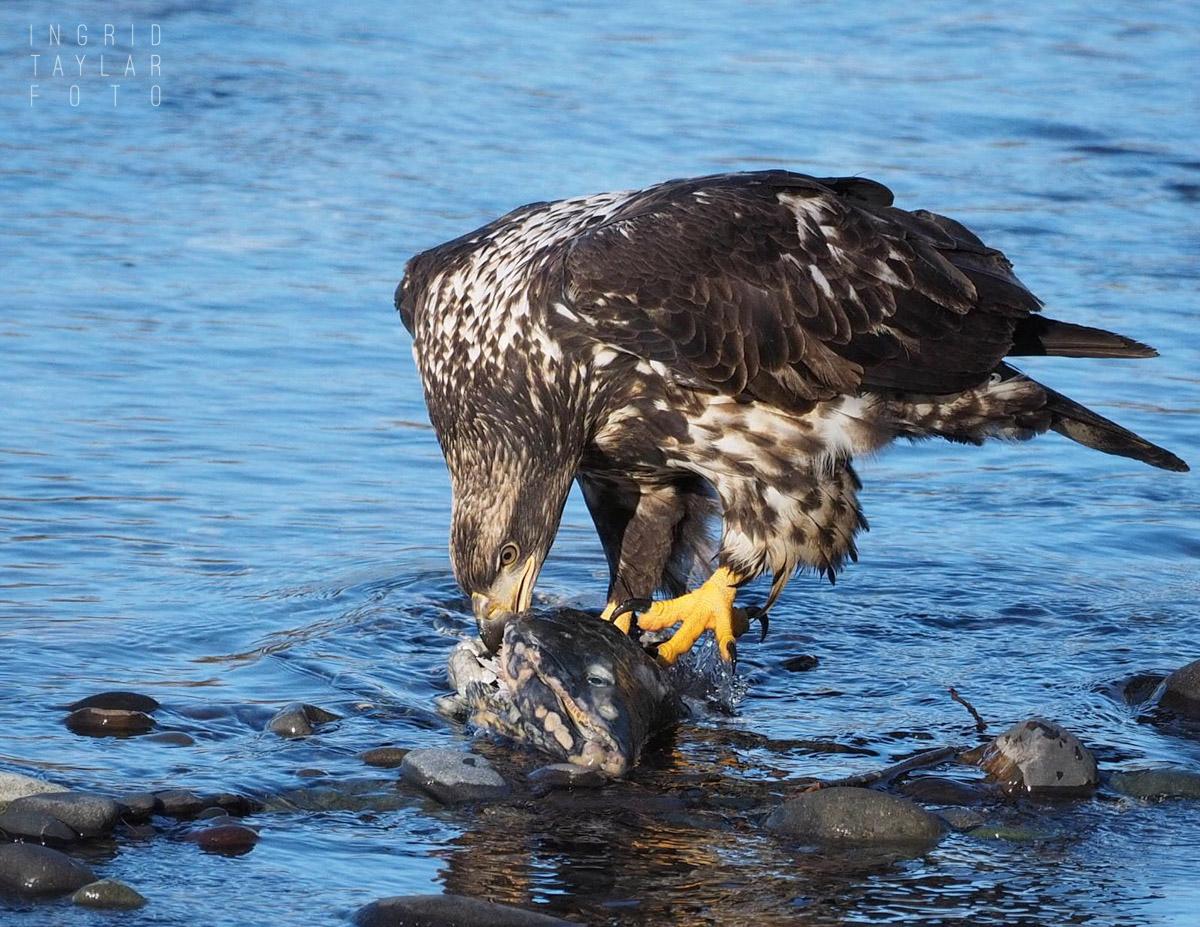 Sub Adult Bald Eagle Eating Salmon