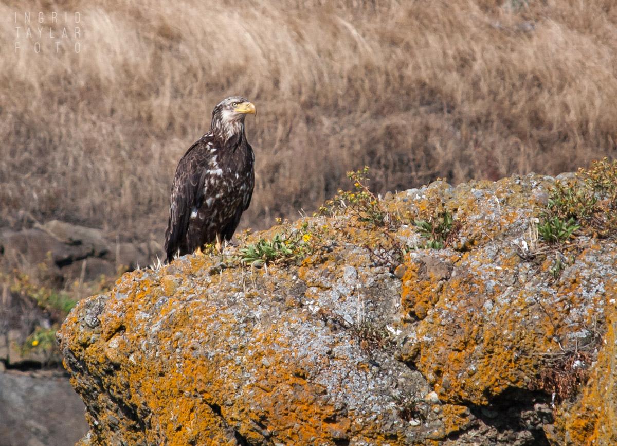 Sub Adult Bald Eagle on Rocks