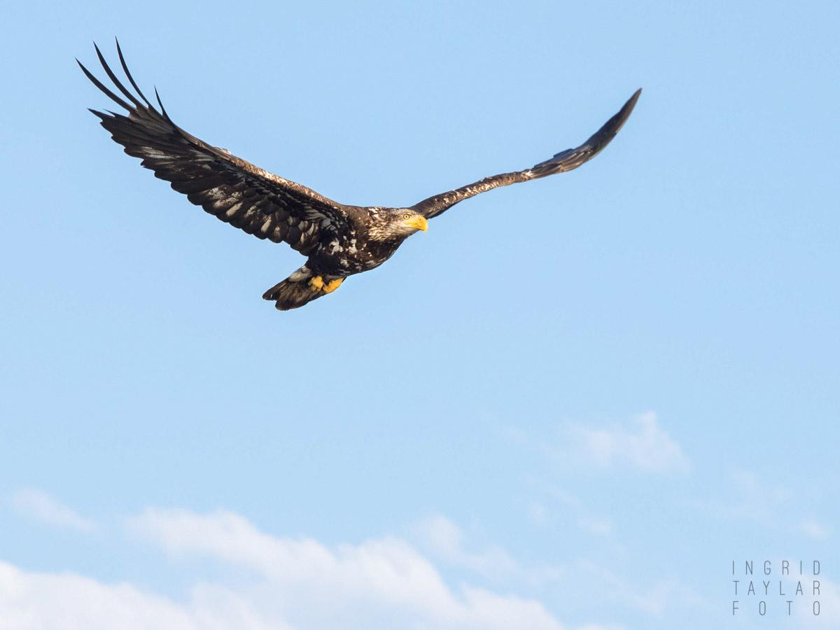 Sub Adult Eagle in Flight