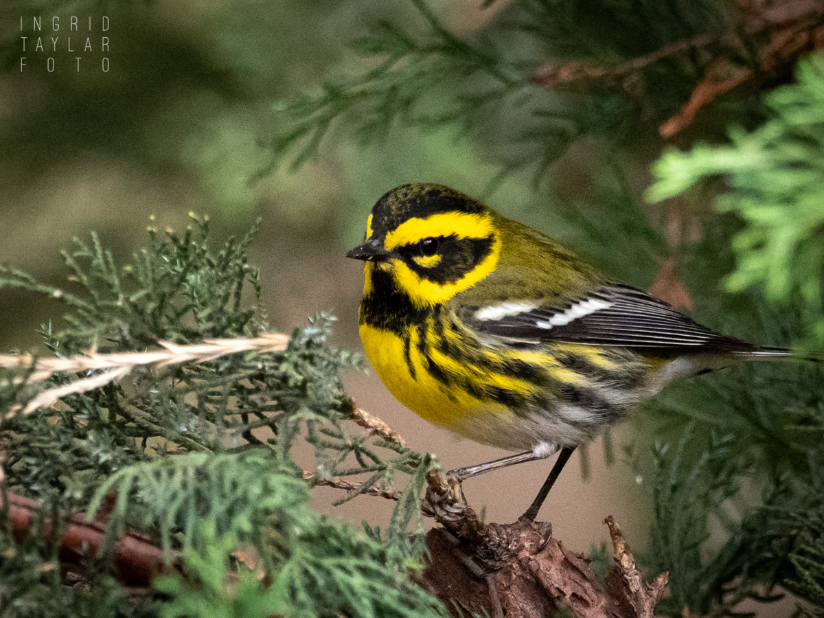 Townsend's Warbler at Lake Merritt Gardens