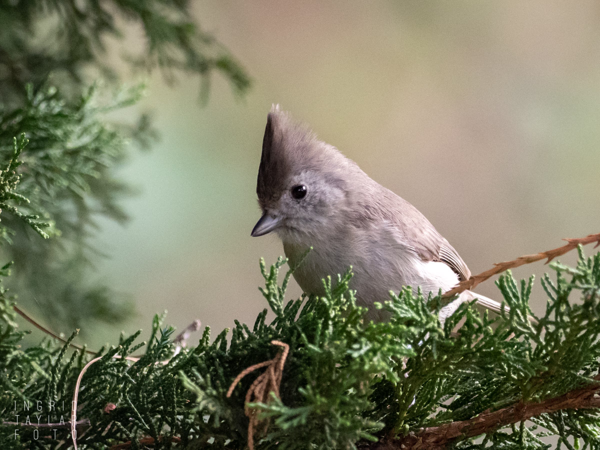 Tufted Titmouse at Lake Merritt
