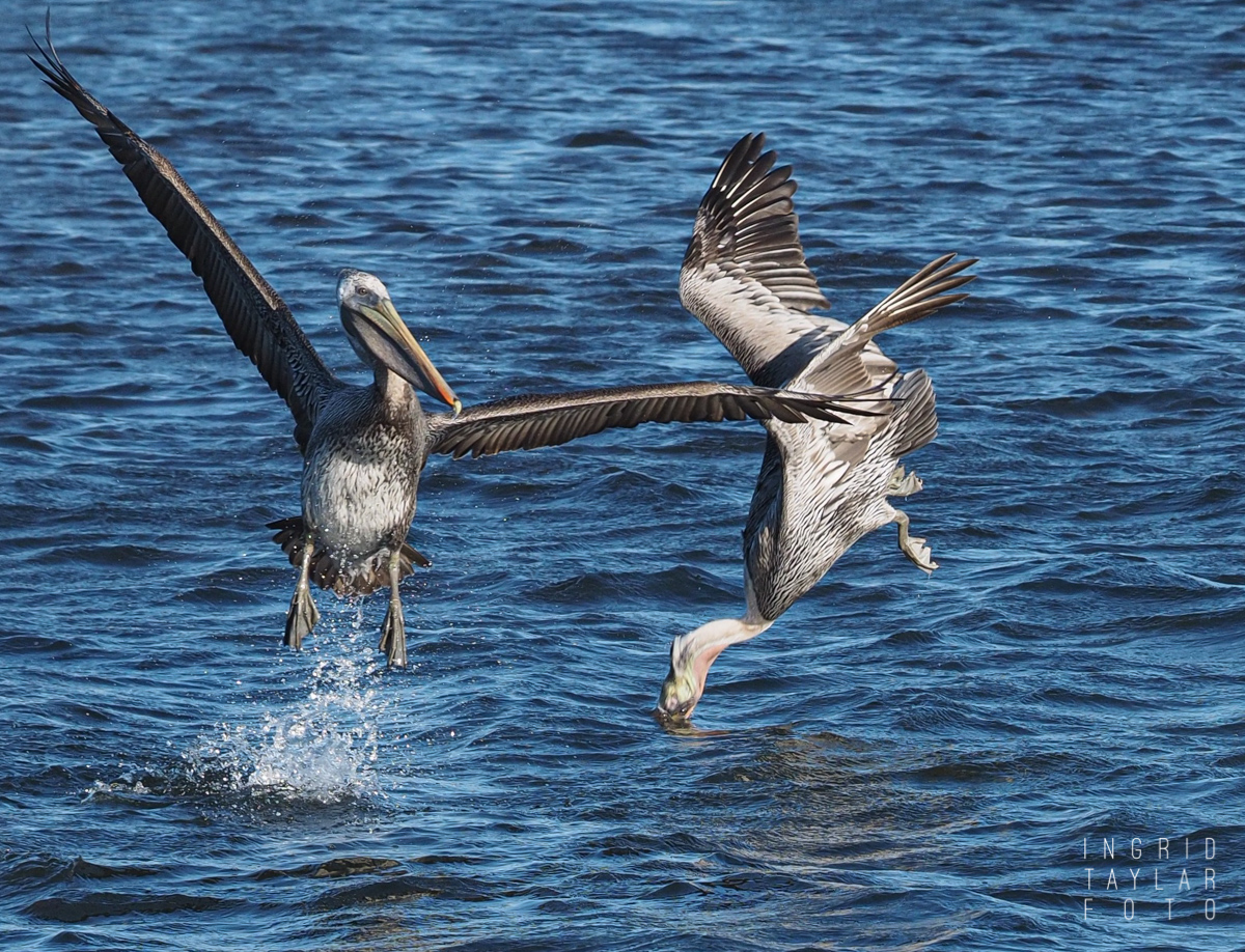 Two Brown Pelicans Diving