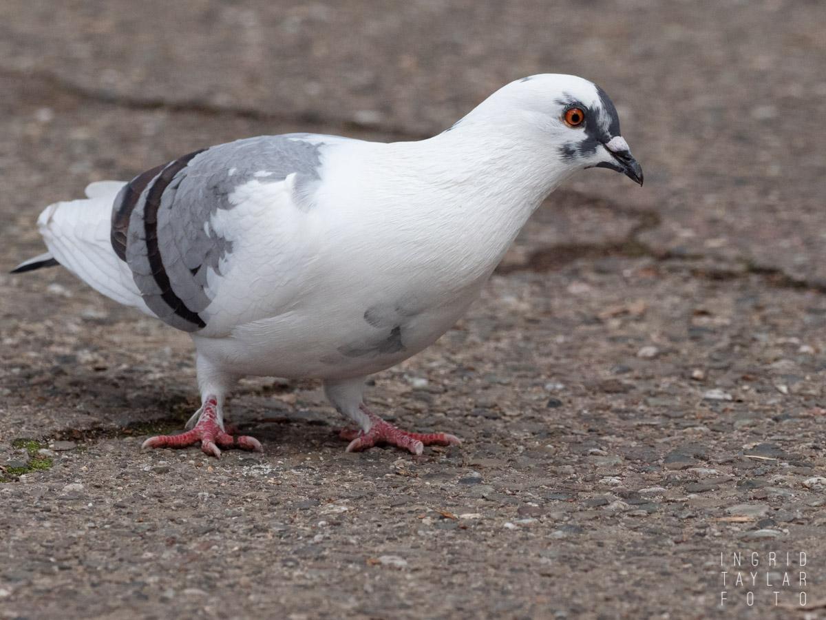 White Mix Pigeon
