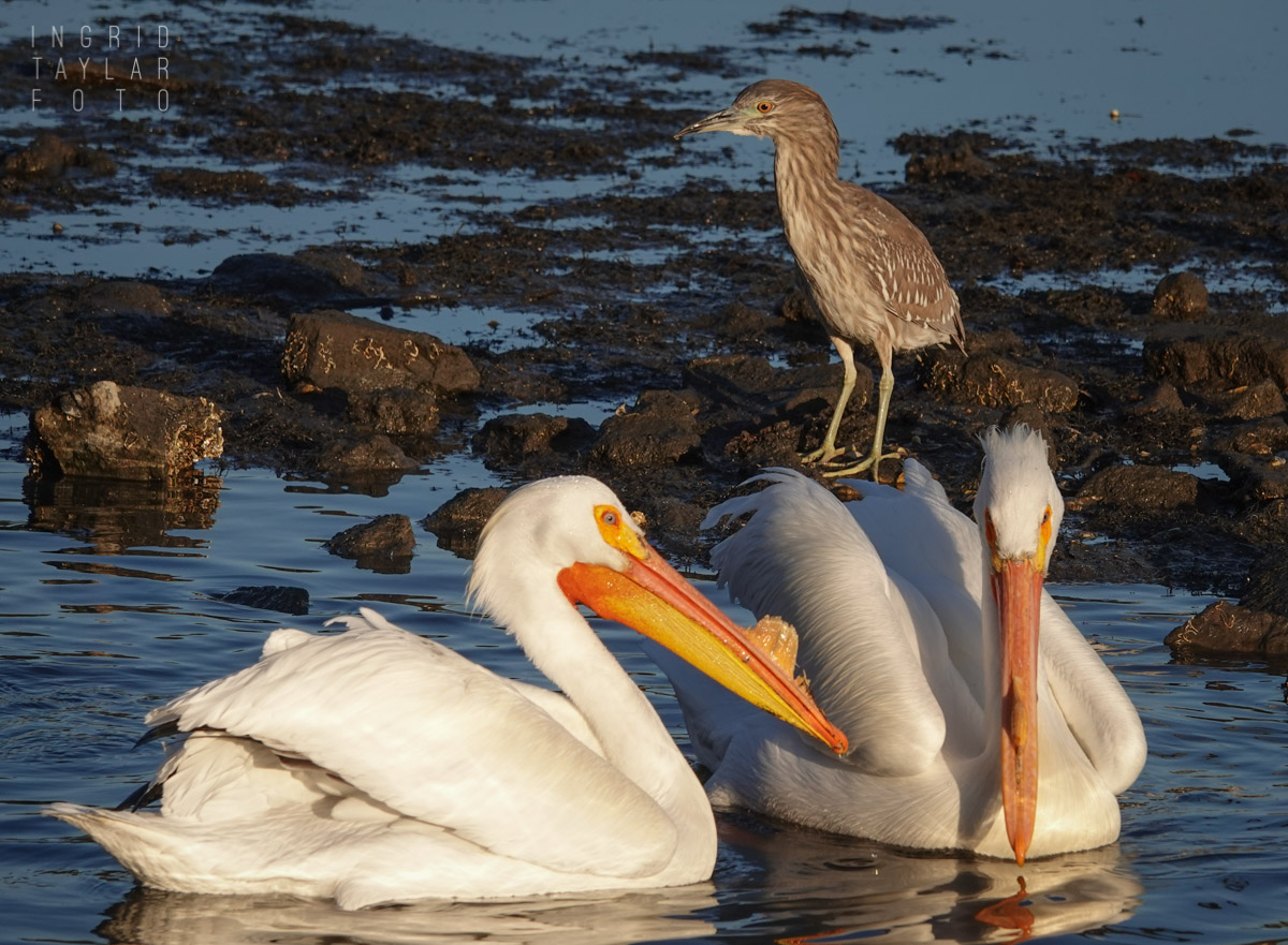 White Pelicans and Night Heron at Lake Merritt