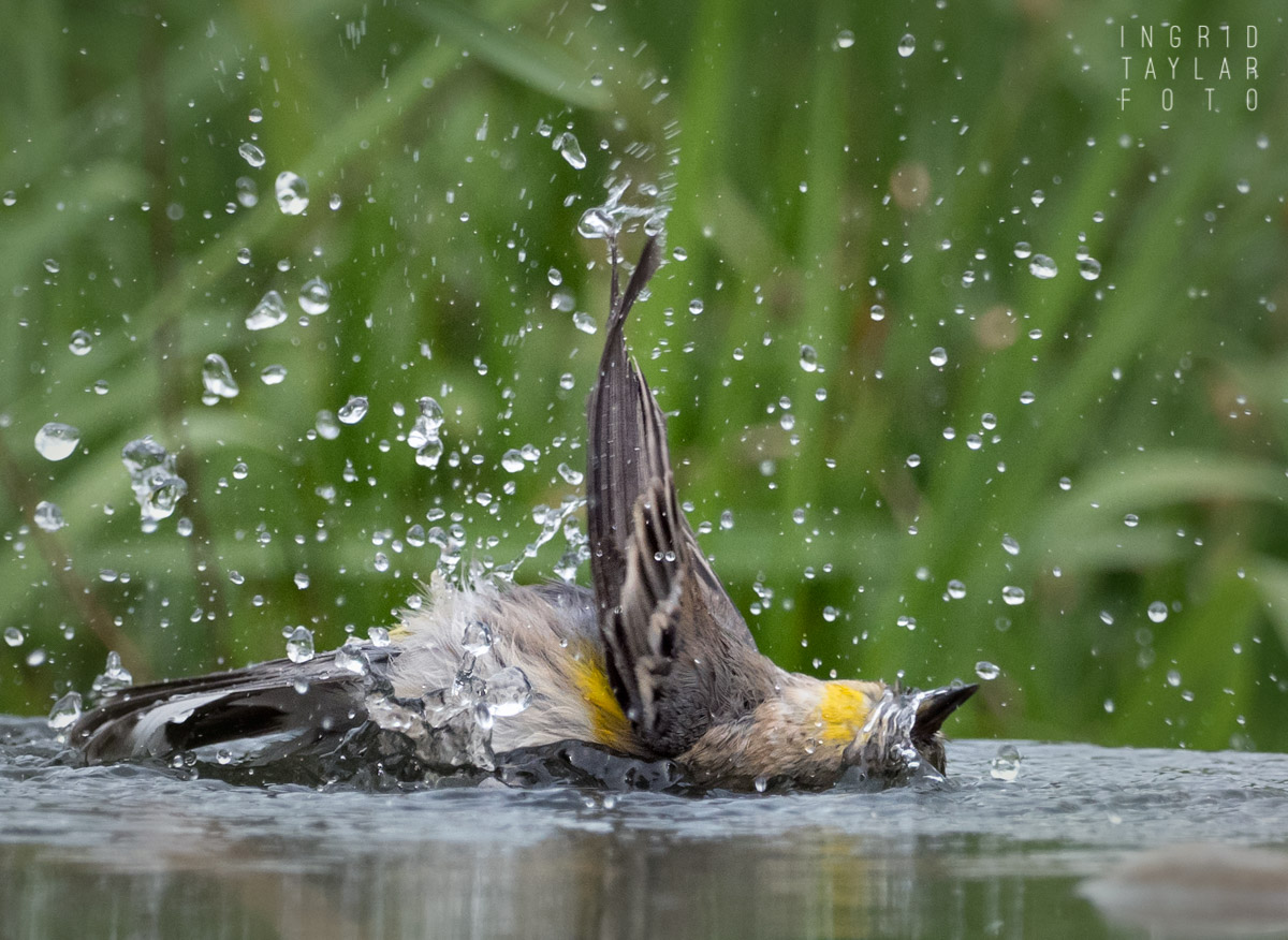 Yellow-Rumped Warbler Bath 2