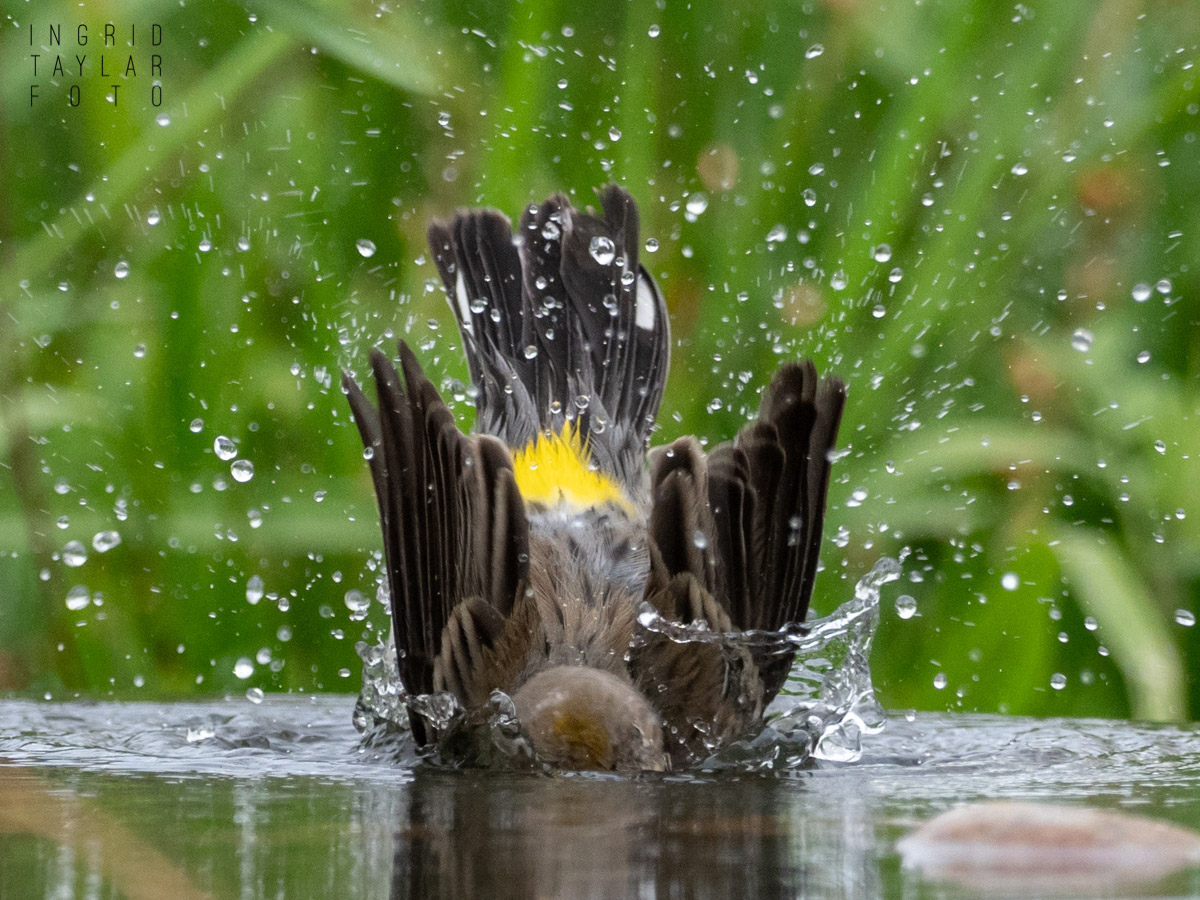 Yellow-Rumped Warbler Bath
