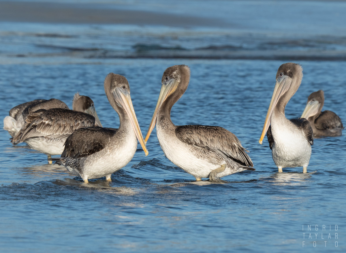 Young Brown Pelicans in Shallow Surf