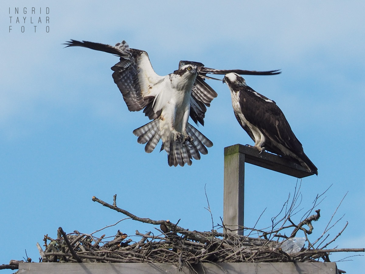 Ospreys on Nesting Platform in Seattle