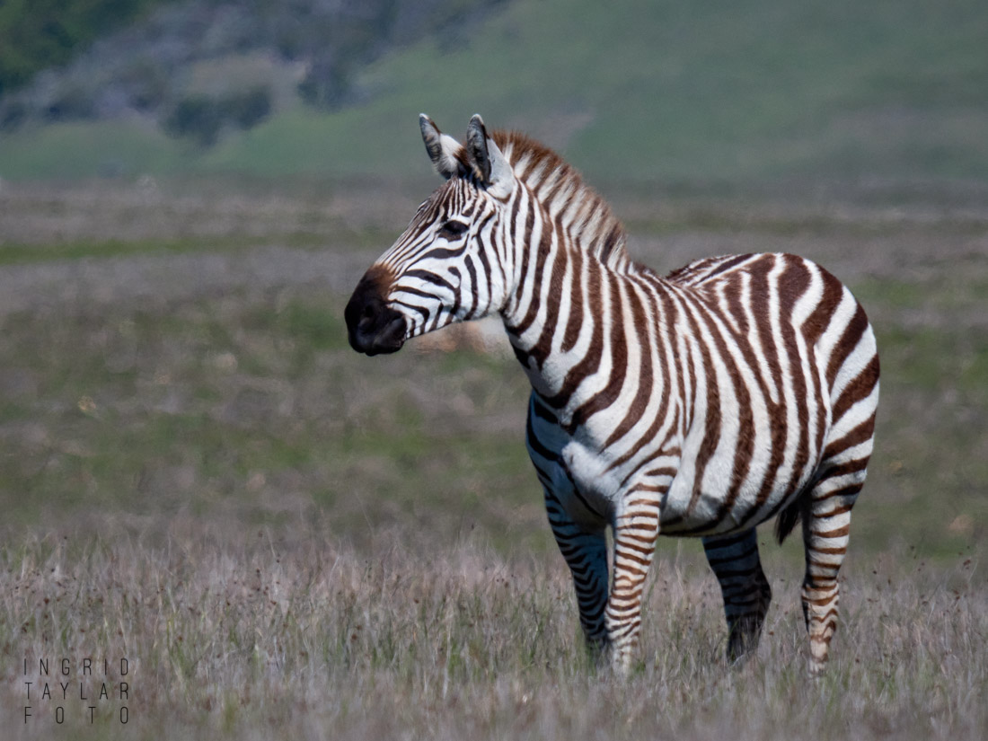 Zebras of San Simeon California