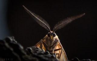 California Oak Moth in Oakland