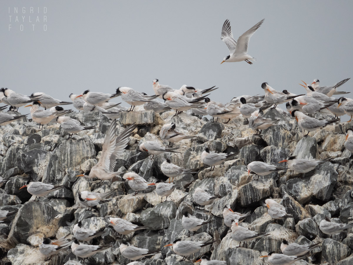 Elegant Tern Migrating Flock