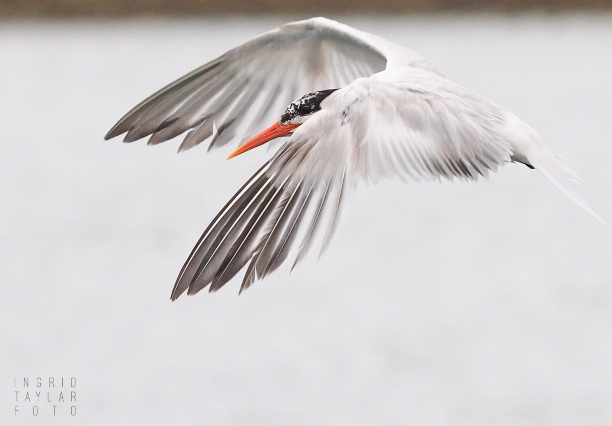 Elegant Tern in Flight in Moss Landing 2