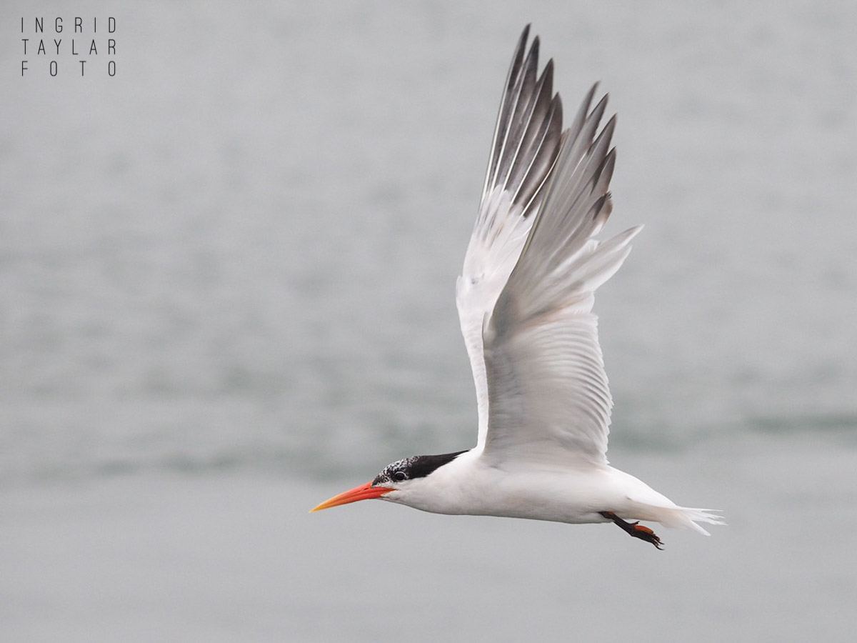 Elegant Tern in Flight in Moss Landing