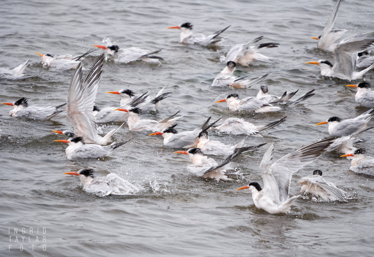 Elegant Terns Bathing in the Pacific