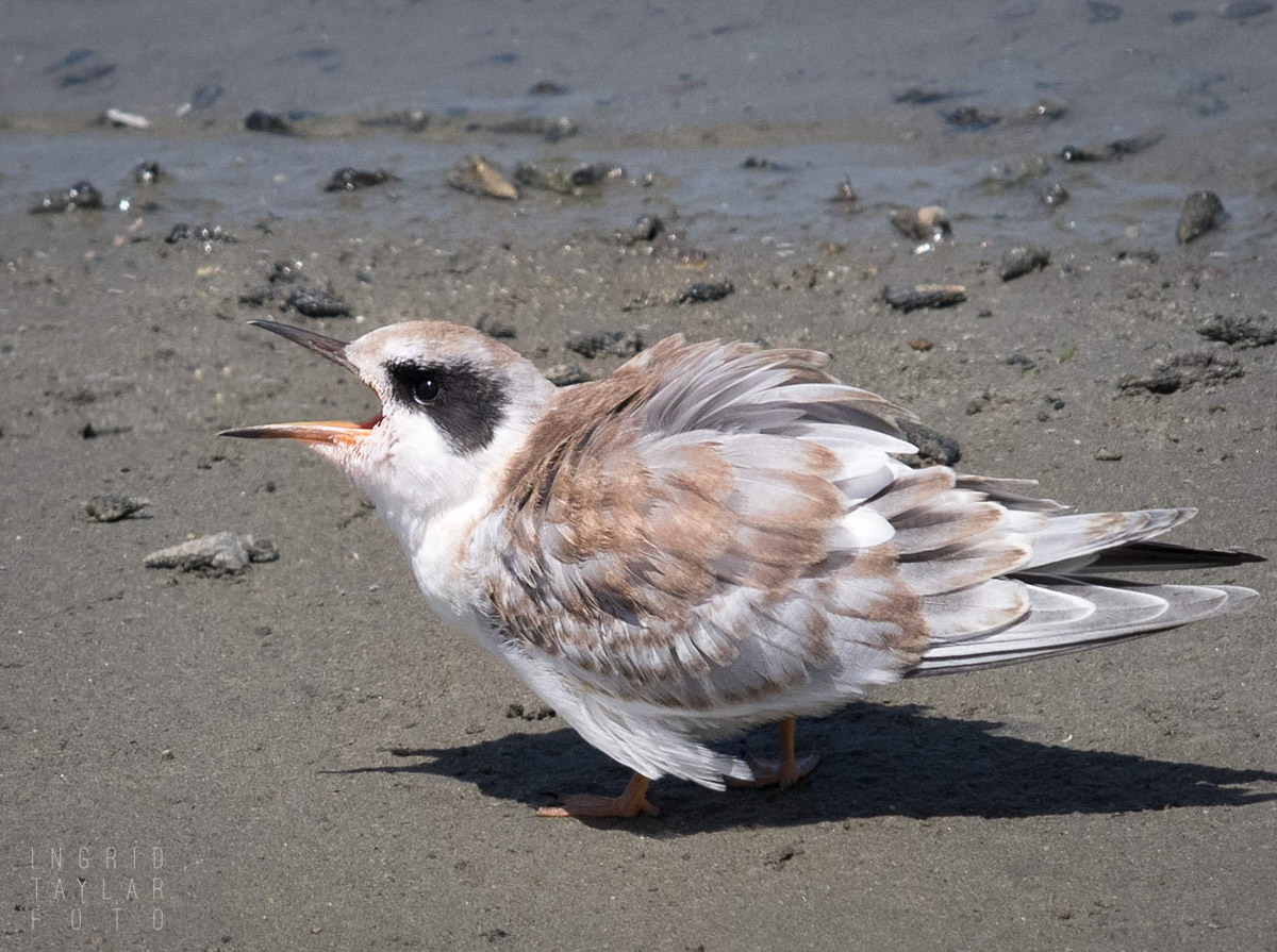 Forster's Tern Chick Calling for Parent