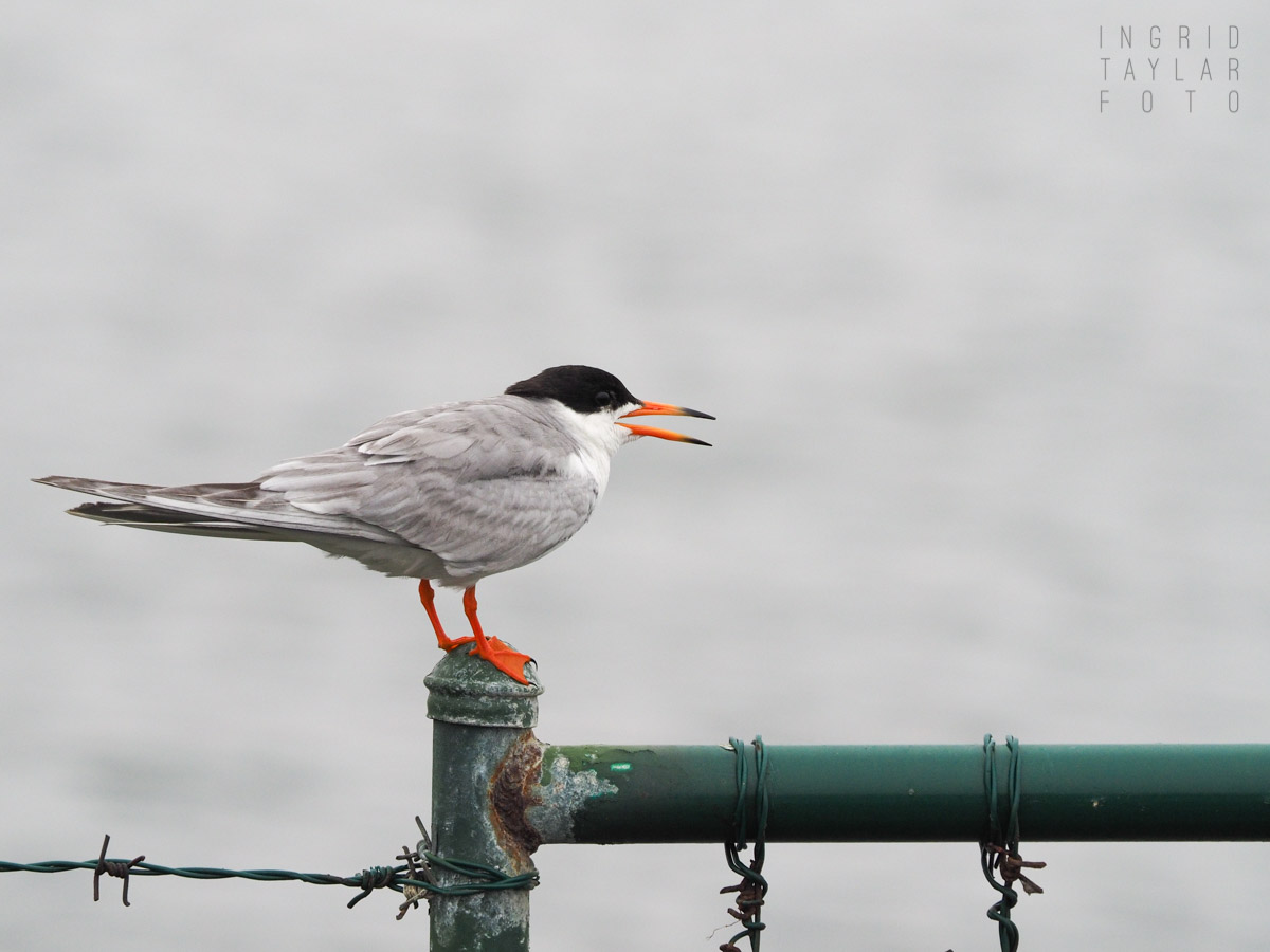 Forster's Tern on Fence