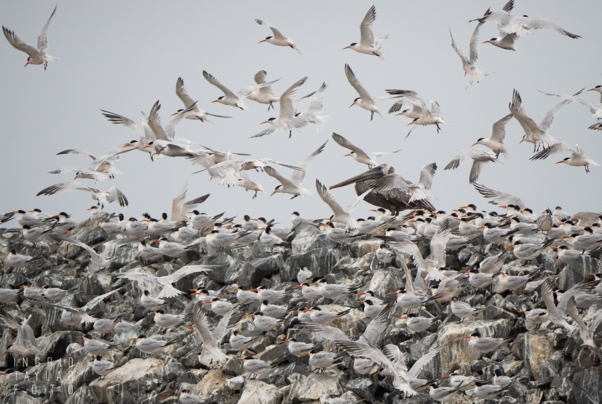 Pelican Interloper in a Flock of Terns