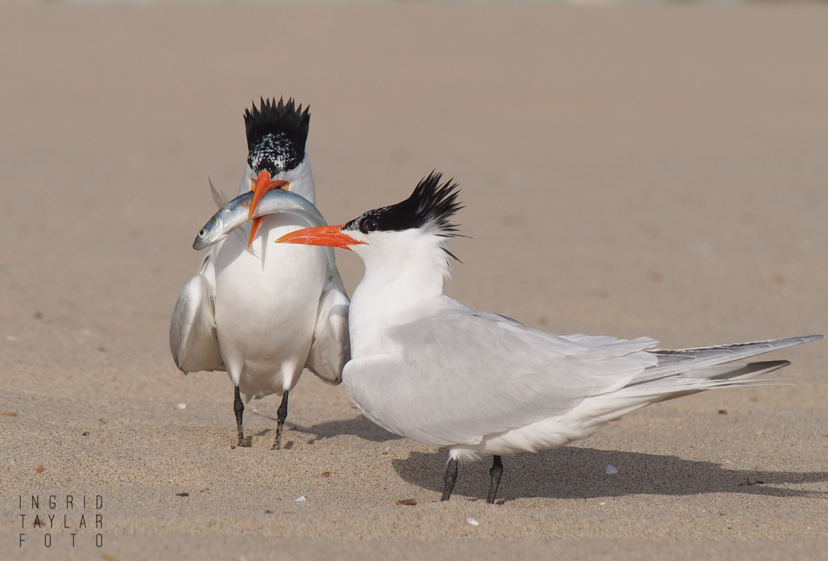 Royal Tern Courtship with Fish 2