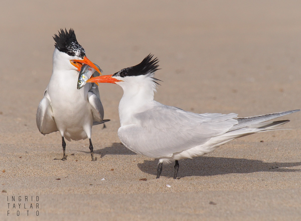 Royal Tern Courtship with Fish 3