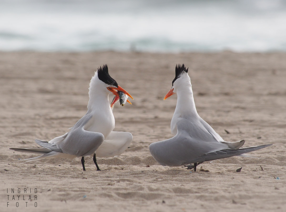Royal Tern Courtship with Fish