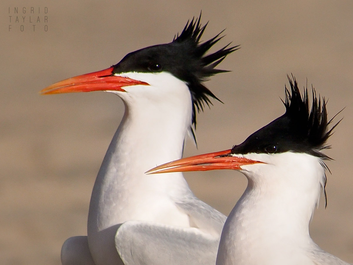 Royal Tern Pair in Profile