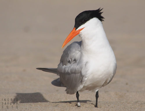 Terns + Skimmers