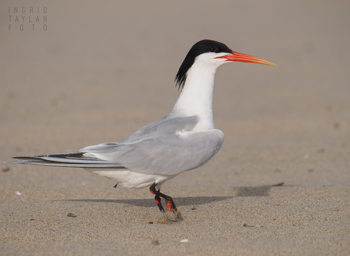 Royal Tern on California Beach