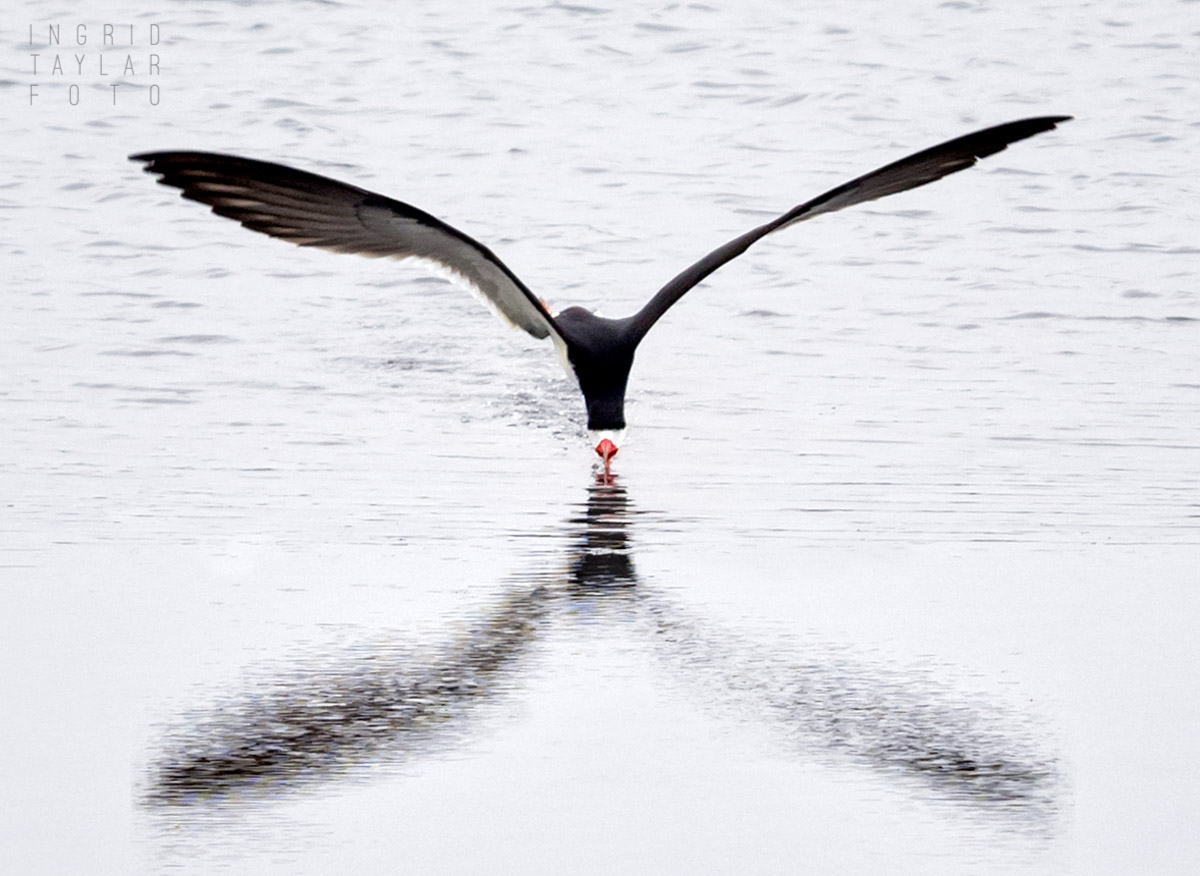 Black Skimmer Reflected