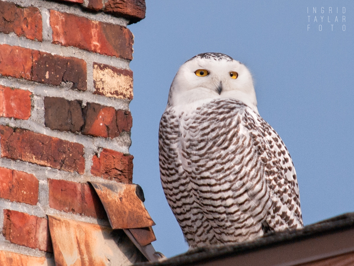 Snowy Owl on Seattle Rooftop