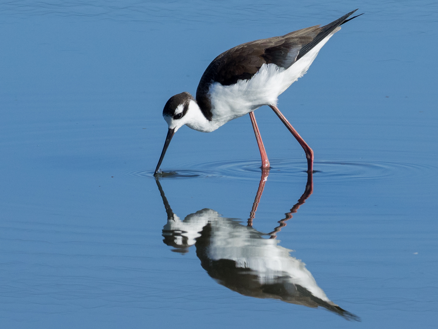 Black-Necked Stilts Reflected in Blue