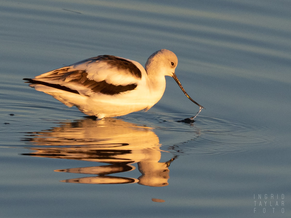American Avocet Reflected in Dawn Light