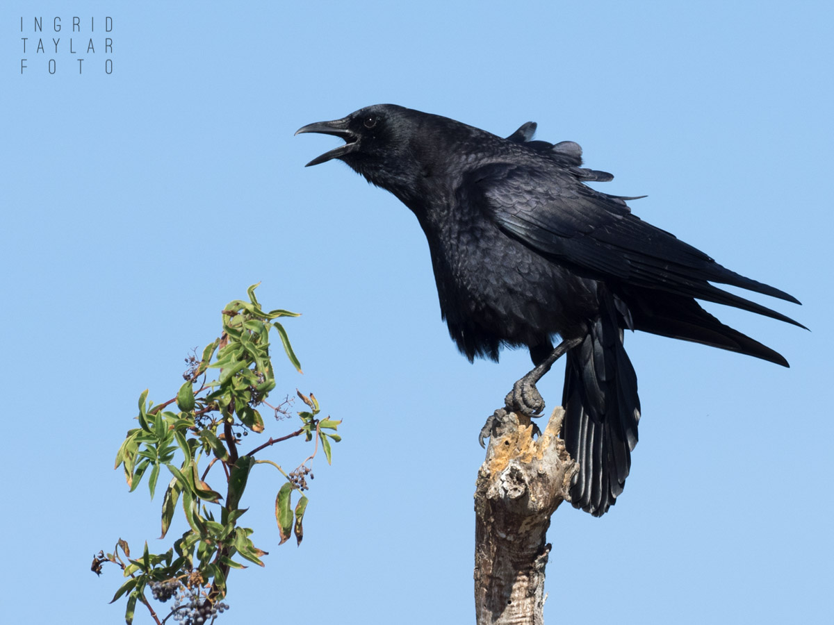 American Crow Cawing