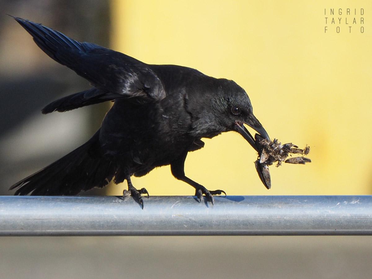 American Crows Playing at Ballard Locks