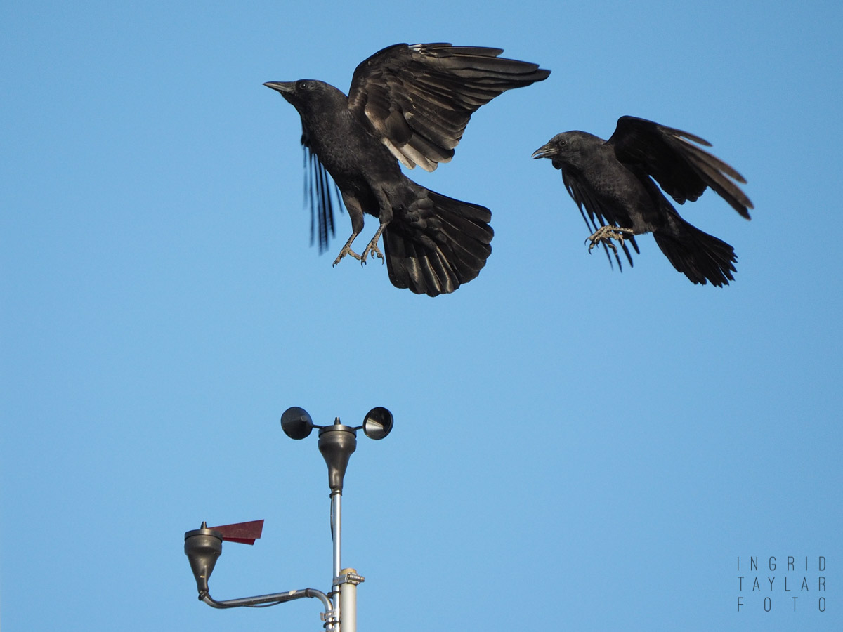 American Crows Playing on Anemometer_