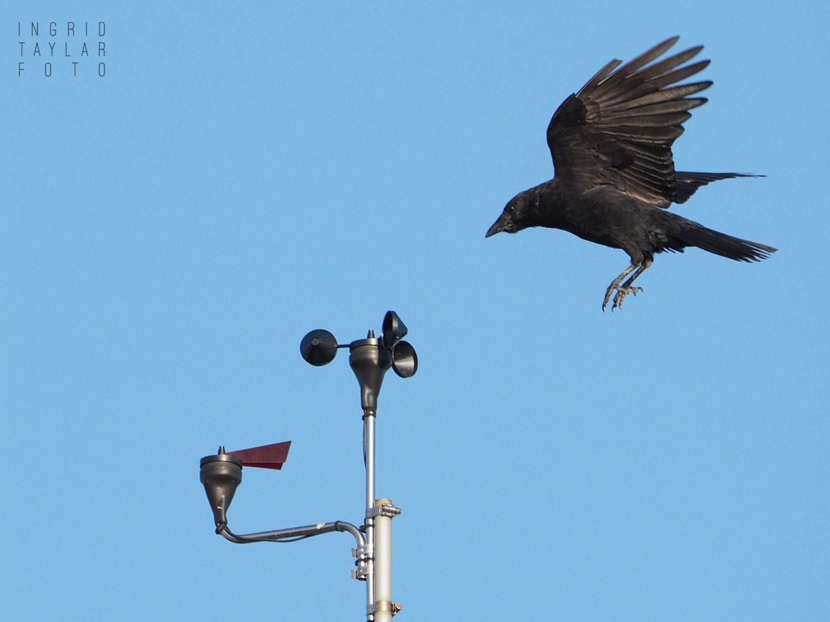 American Crows Playing on Anemometer at Hiram M. Chittenden Locks
