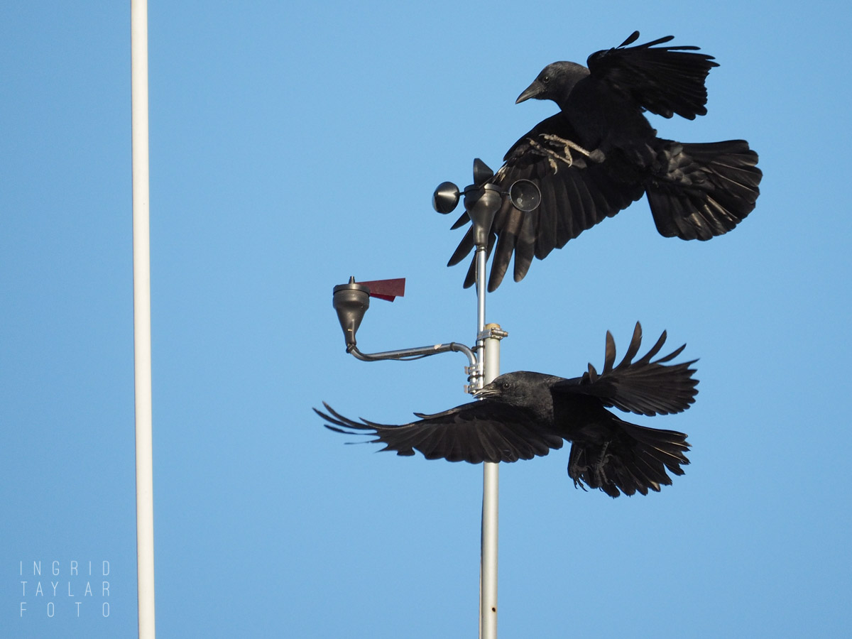 American Crows Playing on Anemometer