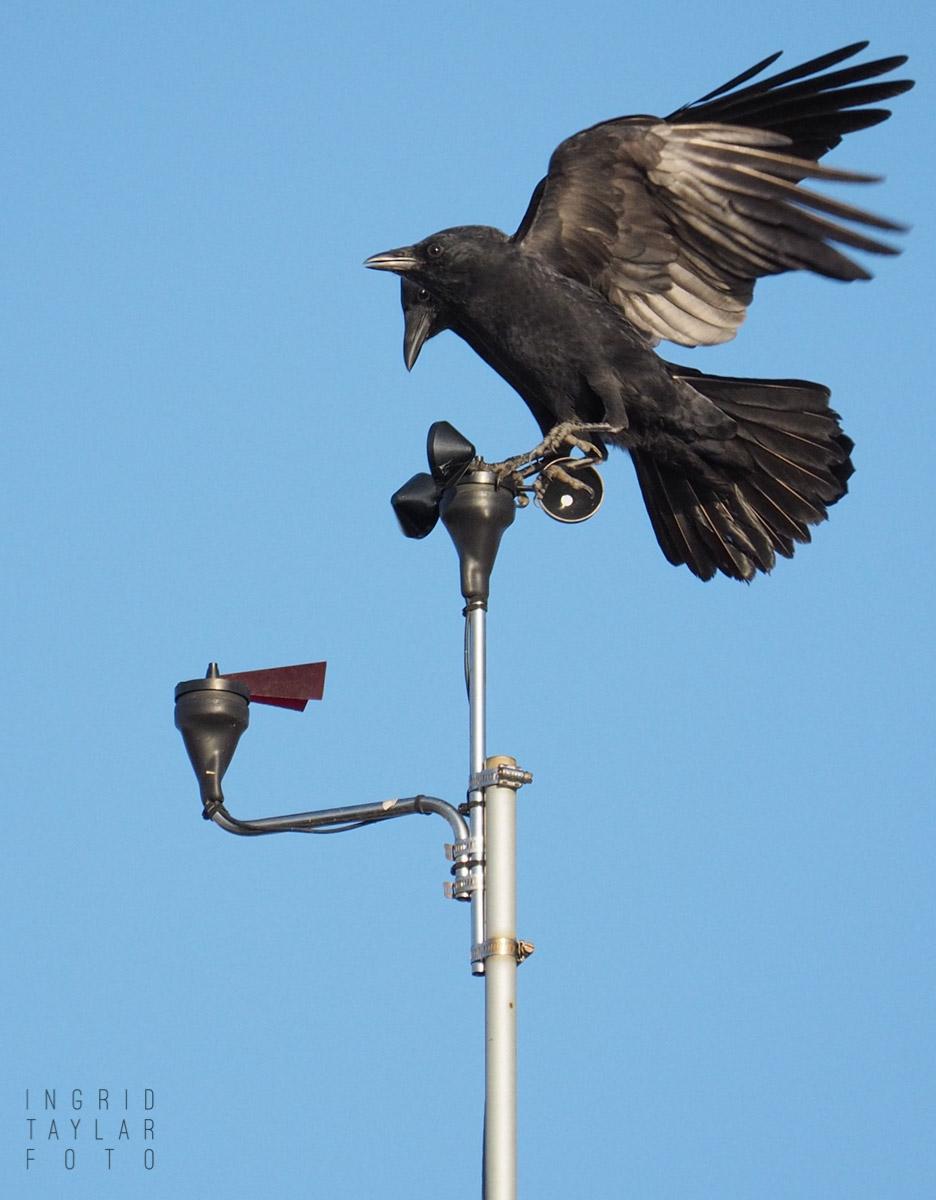 American Crows Playing on Anemometer at Ballard Locks