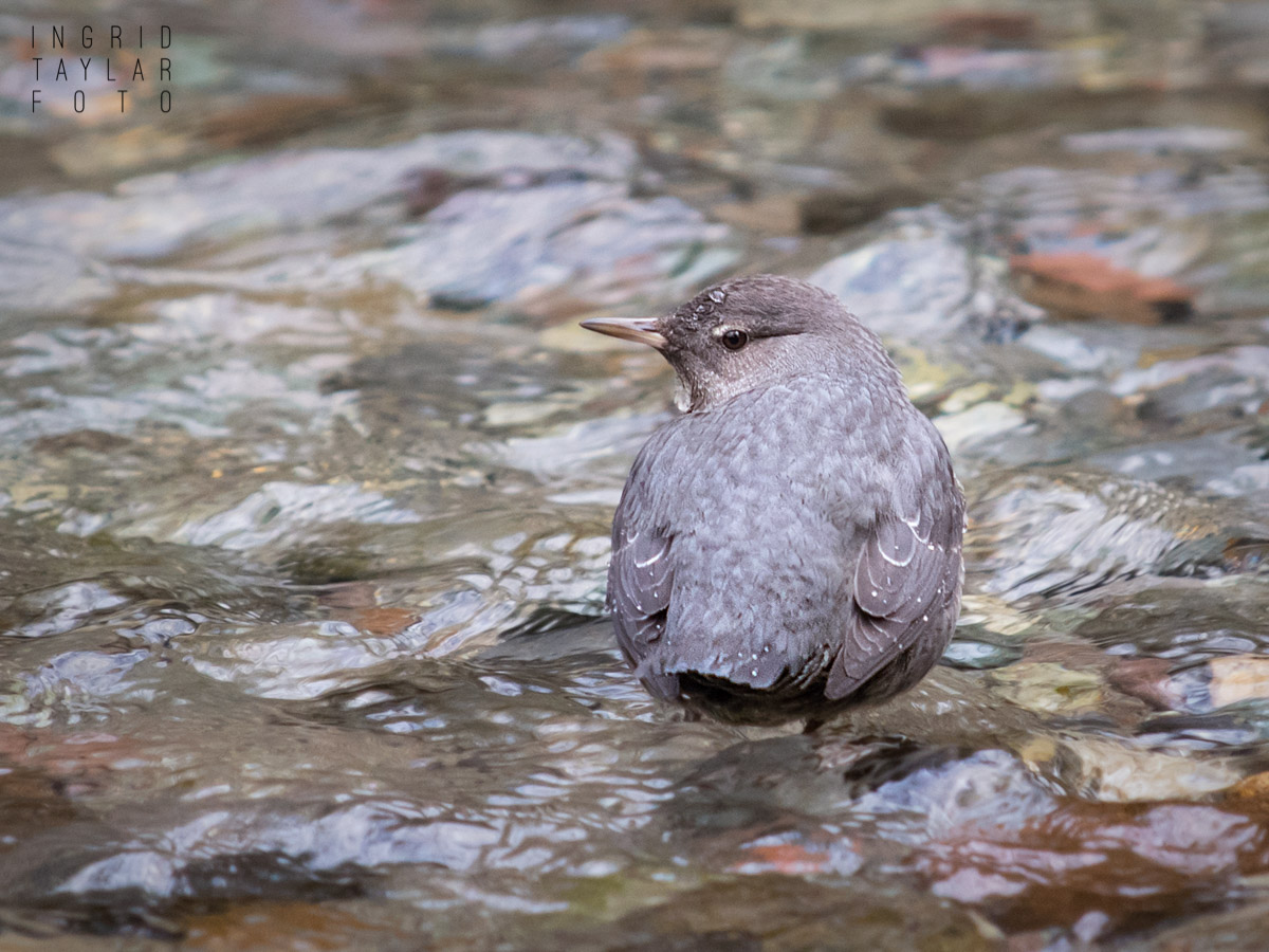 American Dipper in Squamish
