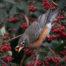 American Robin Eating Cotoneaster Berries