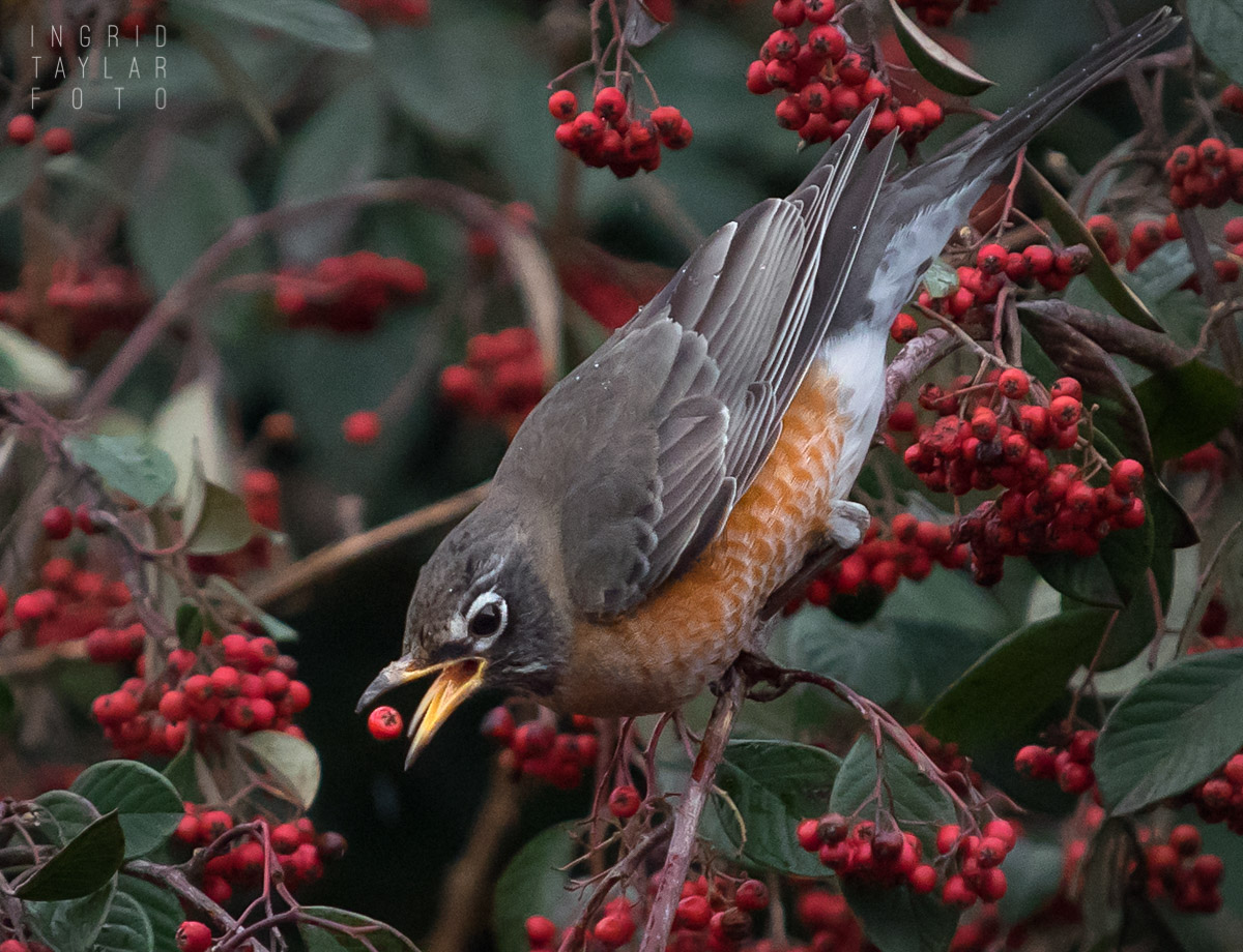 American Robin Eating Cotoneaster Berries