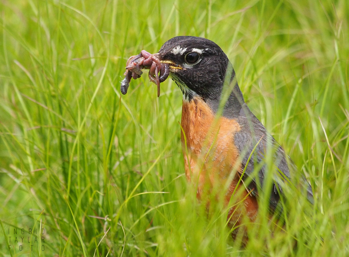 American Robin with Worm Meal