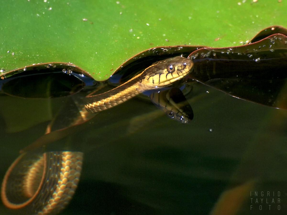 Aquatic Garter Snake and Lily Pad