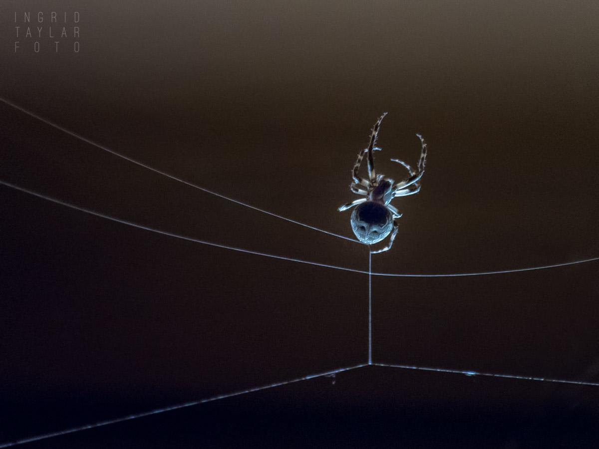 Backlit Spider Building Web